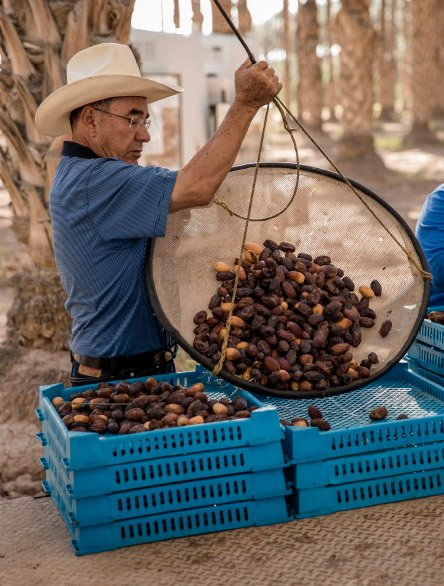 a worker harvesting dates