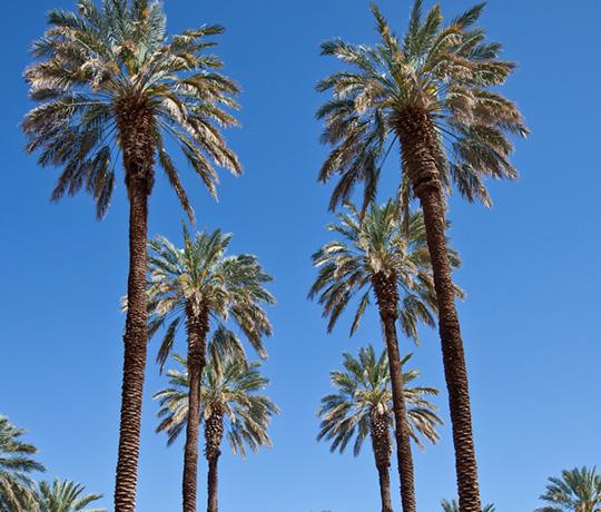 the original six Medjool date palm trees